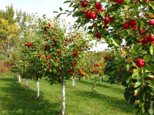 Бизнес-план фруктового бизнеса на посадку фруктового сада