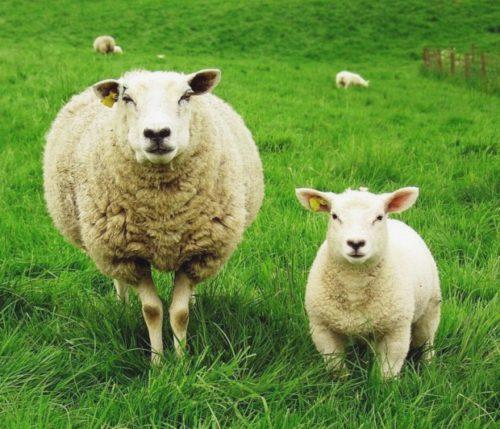 Бизнес-план фермы по разведению и выращиванию овец и баранов на мясо (овцеводство)