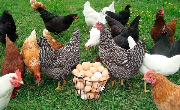Бизнес-план куриной фермы по разведению и выращиванию кур несушек с расчетами