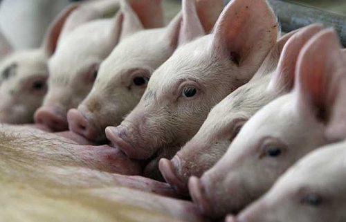 Бизнес-план фермы по выращиванию и разведению свиней на продажу мяса