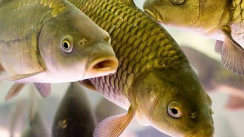 Бизнес-план прудового разведения рыбы (выращивания в пруду)