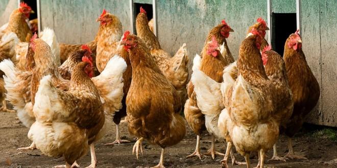 Бизнес-план птицефермы на 1000 кур по выращиванию птицы