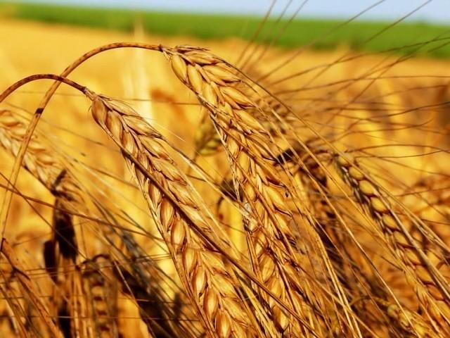Бизнес-план растениеводства по выращиванию пшеницы и других зерновых культур