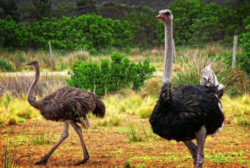 Бизнес-план страусиной фермы по разведению страусов