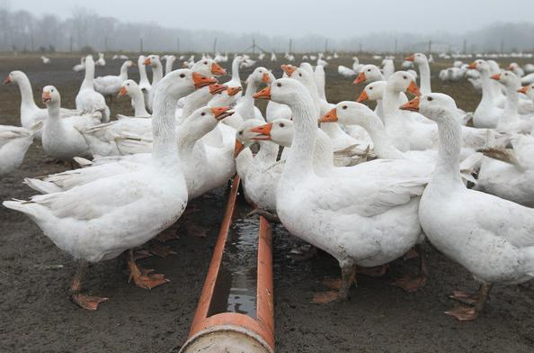 Бизнес-план утиной фермы по разведению и выращиванию мускусной утки