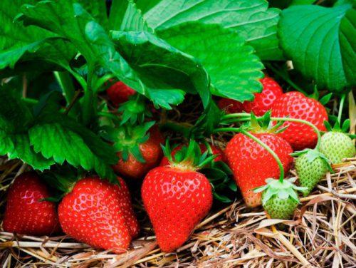 Бизнес-план выращивания клубники в открытом грунте