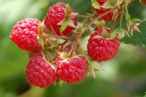 Бизнес-план по выращиванию малины с расчетами
