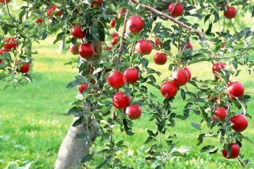 Бизнес-план яблоневого сада интенсивного типа