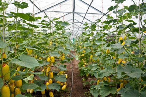 Бизнес-план тепличного комплекса: хозяйства по выращиванию овощей
