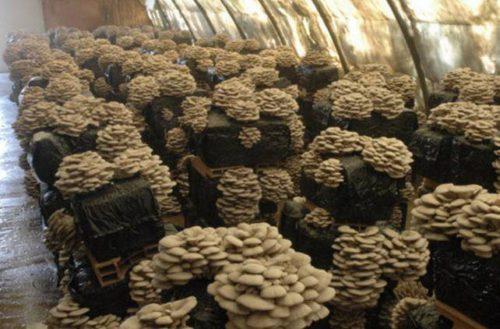 Бизнес-план производства по выращиванию грибов вешенки