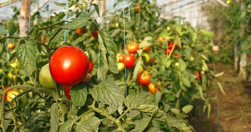 Бизнес-план промышленной круглогодичной зимней теплицы по выращиванию овощей
